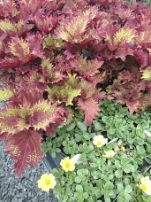 Coleus Spiced Curry