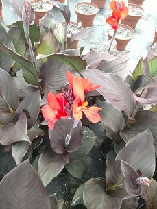 Canna Bronze Leaf Scarlet