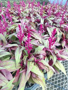 Dragon's Breath Celosia