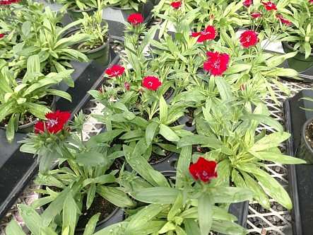 Telstar Crimson Dianthus