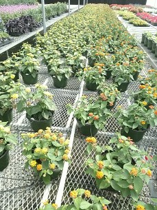 "8"" Little Lucky Lantana"
