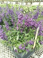 Angelonia Dark Purple Archangel