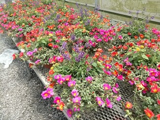 Portulaca/Angelonia Mix