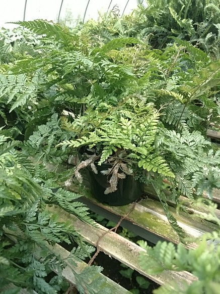 "6"" Rabbit's Foot Fern"