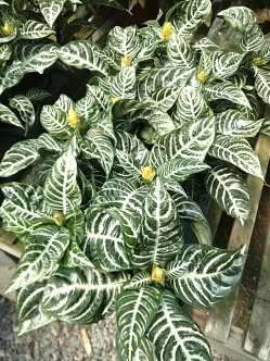 "4"" Zebra Plant"
