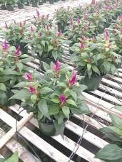 Merrida Purple Celosia