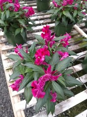 "6.5"" Celosia Hot Topic"