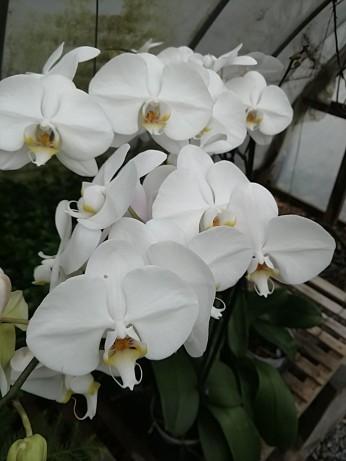 "6"" Orchids"