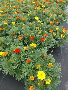 "8"" Marigolds"