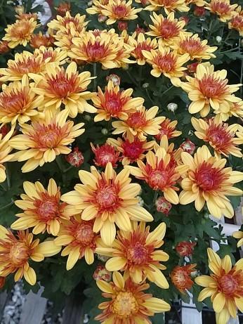 """6.5"""" Florist Mum Newport Bronze"""