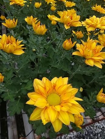 "6.5"" Florist Mum Pelee"