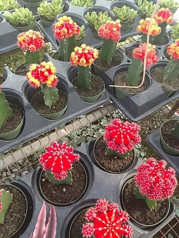 Colortop Cactus