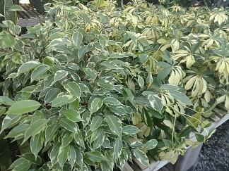 Ficus Benjaminia/Variegated Arbicola
