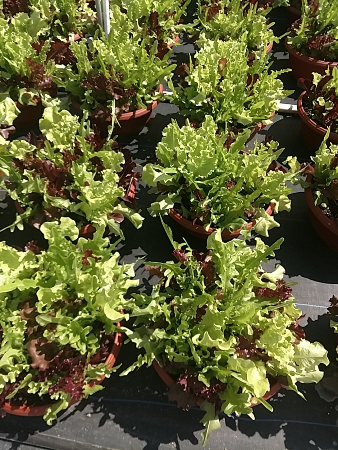 Lettuce - City Garden Mix