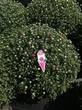 """8"""" - Fiora Pink"""