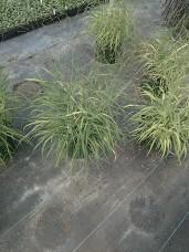 Shenandoah Grass