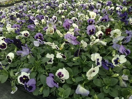 Matrix Ocean Pansies