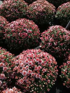 "8"" Garden Mum - Perfectly Pink"