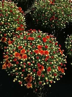 """8"""" Garden Mum - Hailey Orange"""