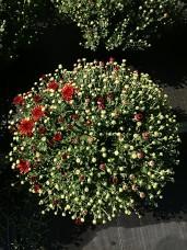 """8"""" Garden Mum - Spicy Cheryl"""