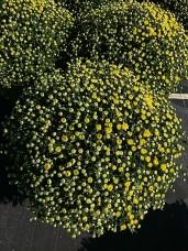 "8"" Garden Mum - Key Lime"