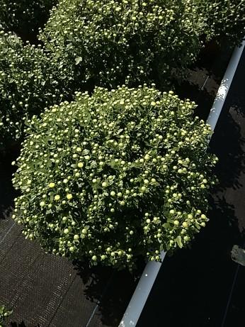 """8"""" Garden Mum - Bethany Yellow"""
