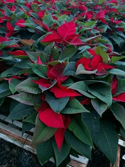 "8"" Red Poinsettia"