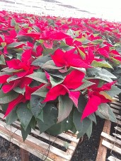 "8"" Red Poinsettias"