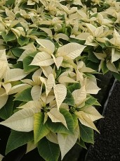 "4.5"" White Poinsettias"