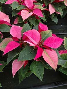 "4.5"" Pink Poinsettias"