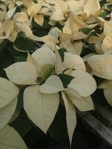 "4.5"" White Poinsettia"