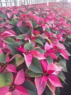 "8"" Pink Poinsettia"