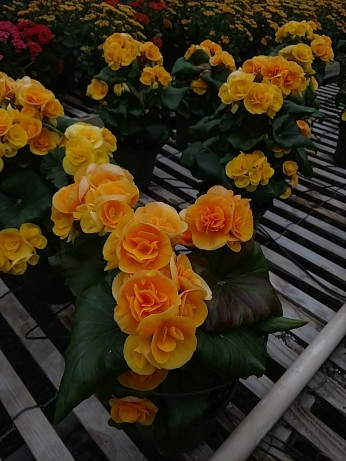 """Yellow Stone"" Begonia"