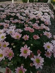 Pink Daisy Mum