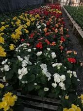 Begonias!