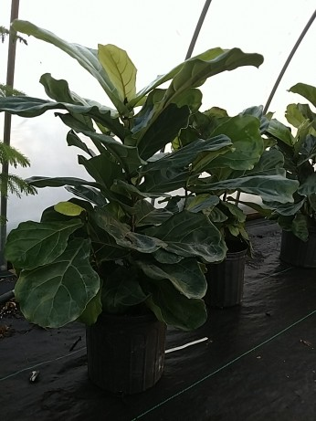 "8"" Fiddle Leaf Fig"