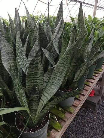 """6"""" Snake Plant"""