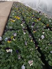 606 Violas