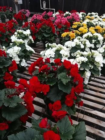 """6.5"""" Reiger Begonias"""