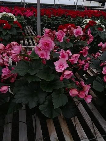 "6.5"" Frivola Begonia"
