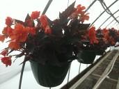 "10"" I'Conia Begonia"