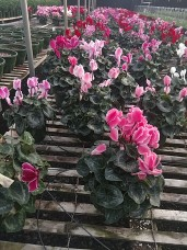 Cyclamen (check availability for bulk sale pricing)