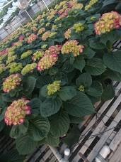 "8"" Pink Hydrangeas"