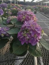 "8"" Purple Hydrangeas"