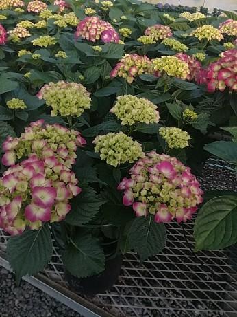 Gallon Pink Hydrangeas