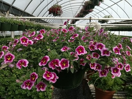 Bumble Bee Calibrachoa