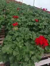 """6.5"""" Red Geranium"""