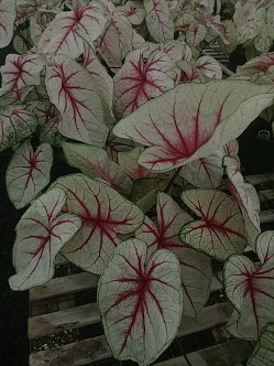 "6.5"" White Queen Caladium"