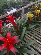 "6"" Bromeliad Guzmania"