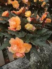 Portofino Begonia